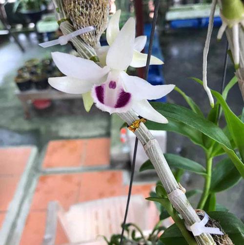 hình hoa phi điệp 5 cánh trắng tuyết ngọc 2