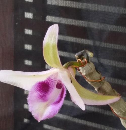 hình hoa cánh xanh phú thọ 2