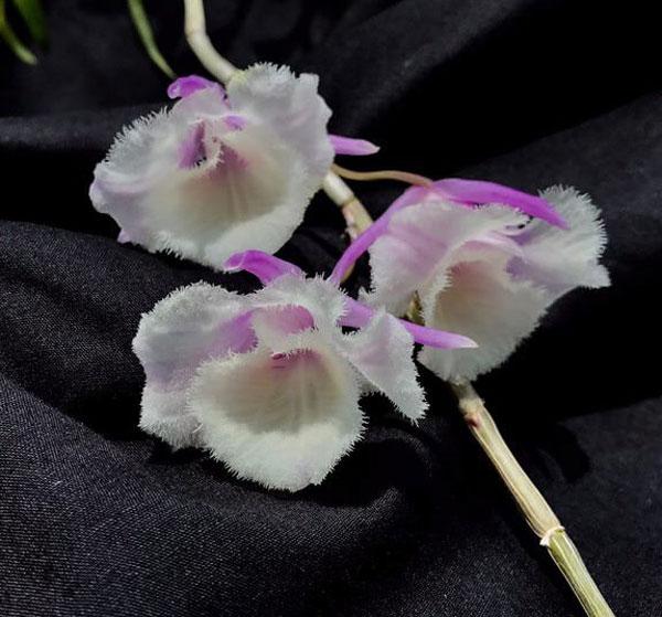 hình hoa thiên cung 3 lưỡi