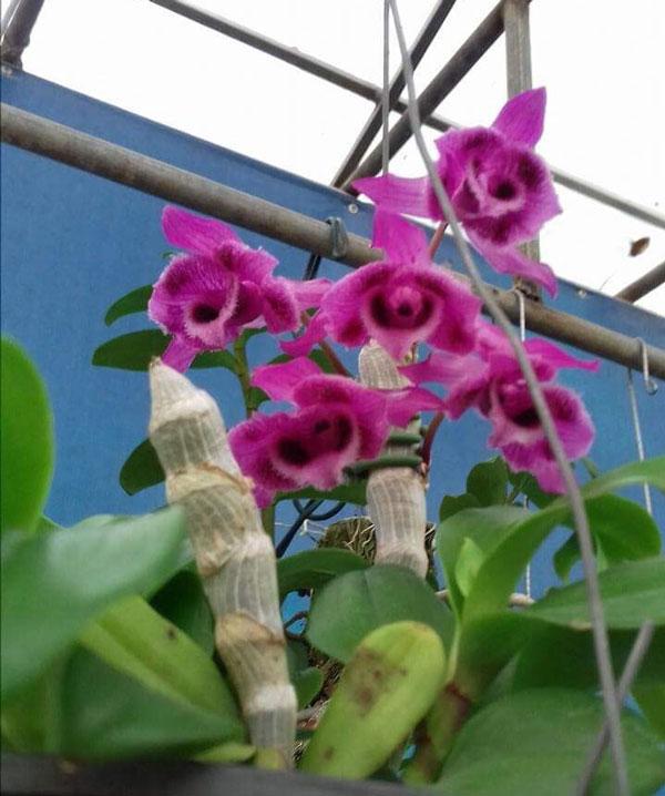 trầm rừng myanma hình hoa