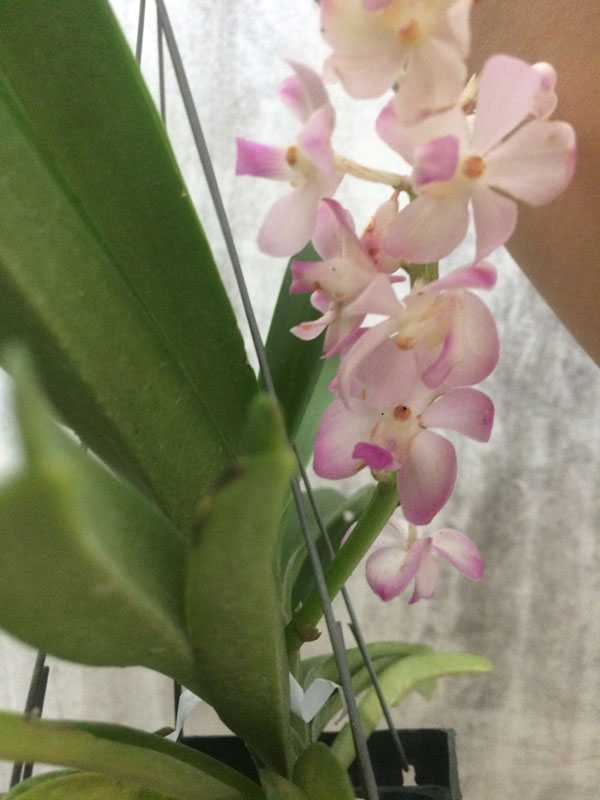 cây hoa bền, nở rất lâu - bông này là khi hoa sắp tàn