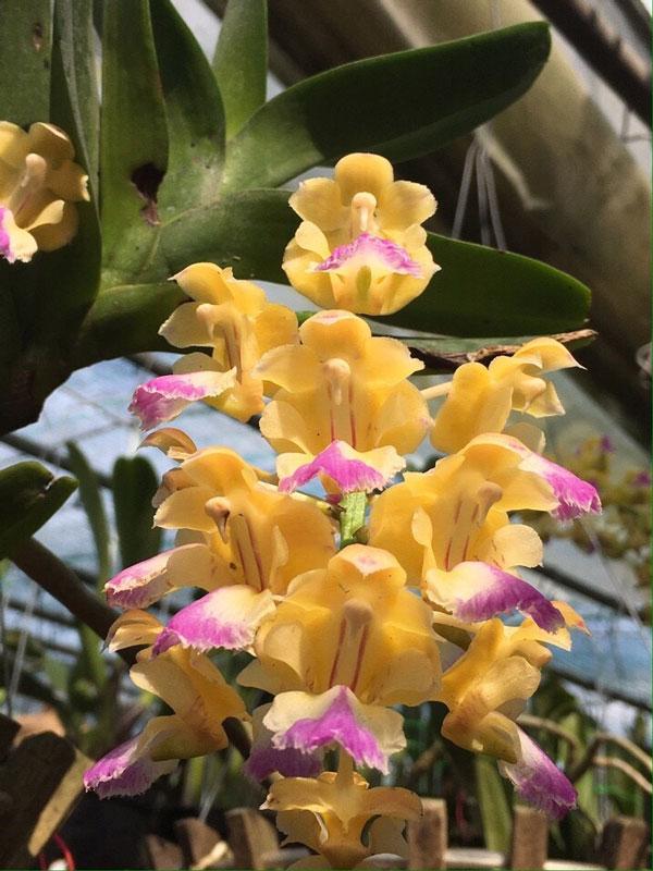 hình hoa lan hoàng nhạn