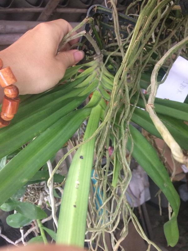 sóc tím cây đơn có bộ rễ phát triển khủng