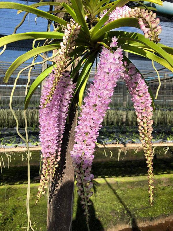 lan giáng hương sóc tím hình hoa