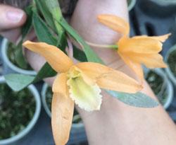 Hoàng thảo đơn cam thái