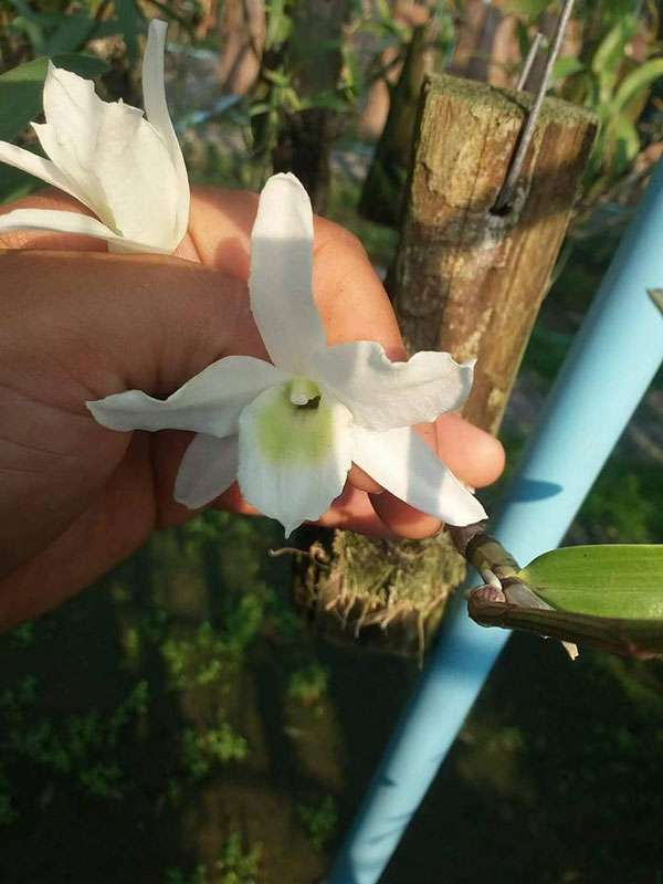 hình hoa hoàng thảo hoa trắng