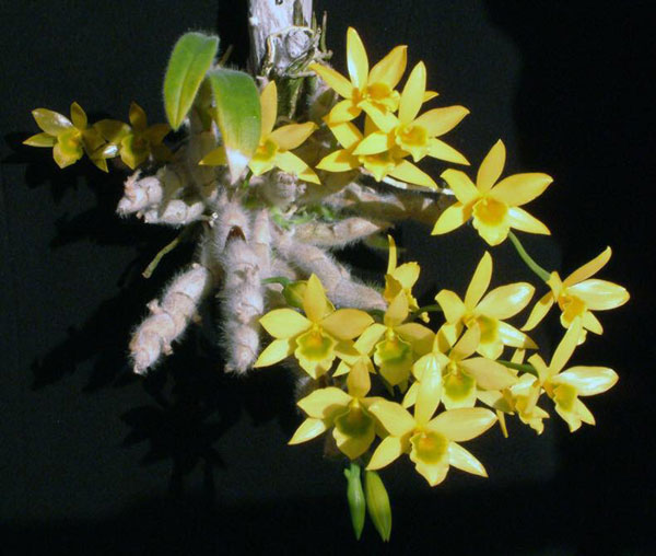 hoàng thảo vàng lông trắng 1