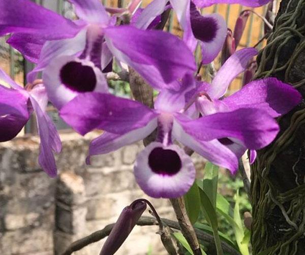 Hình hoa tham khảo hoa lan kèn