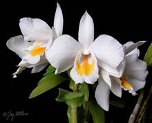 Hoàng thảo bướm trắng