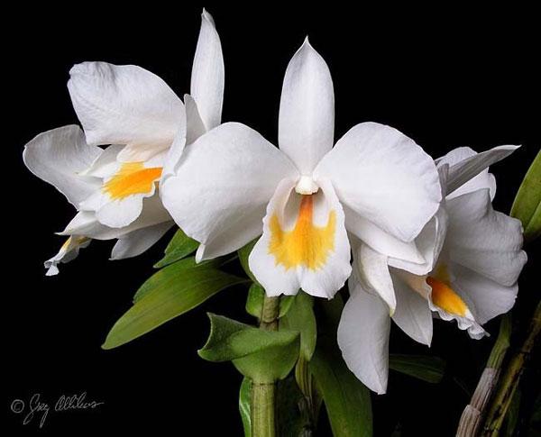 hoa bướm trắng