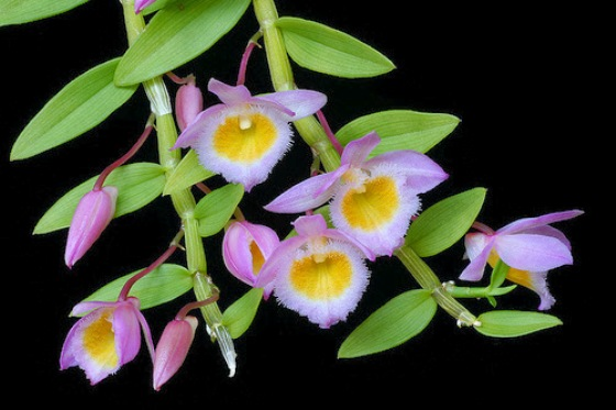 hình hoa lan nghệ tâm