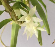 Thập hoa trắng
