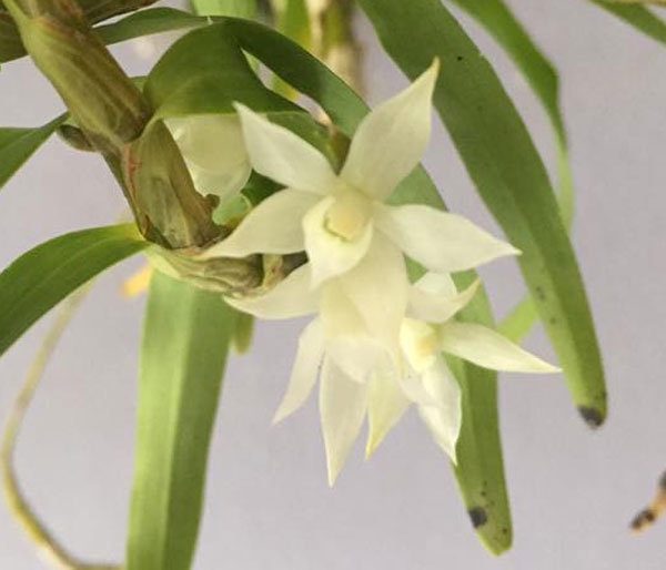thập hoa trắng 1