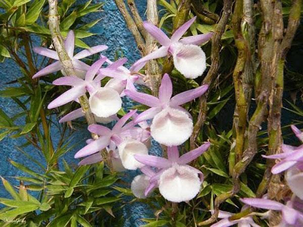 hình hoa vôi lùn 1