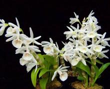 Hoàng thảo vôi trắng