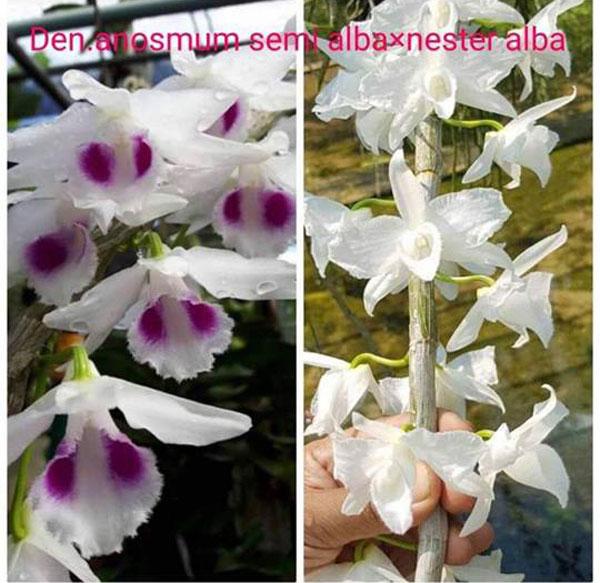 hình hoa 5 cánh trắng và bạch long