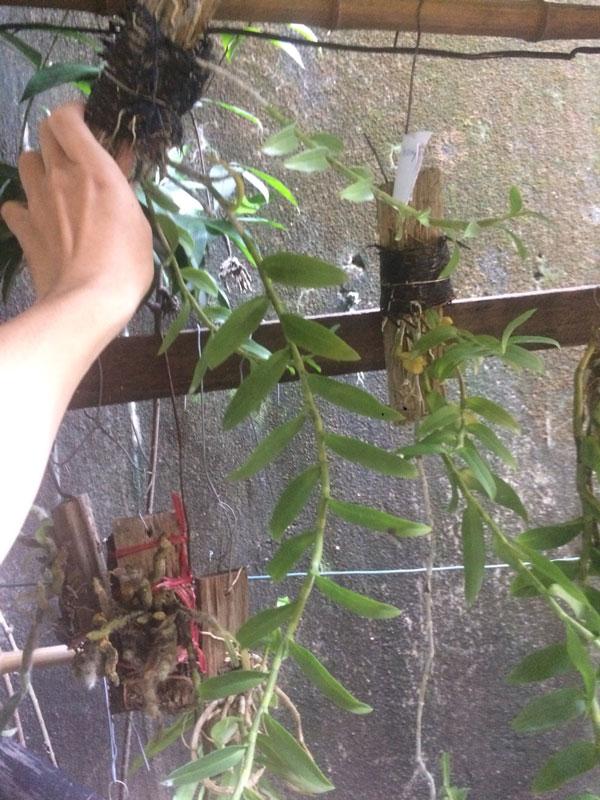 trầm tím lai hawaii ghép gỗ giò đẹp
