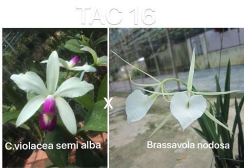 tac16 brass