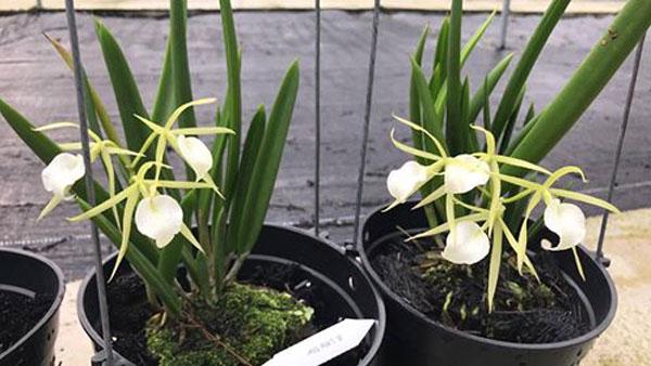 Hoa lan brass trắng - Rất xinh ra hoa quanh năm, dễ trồng
