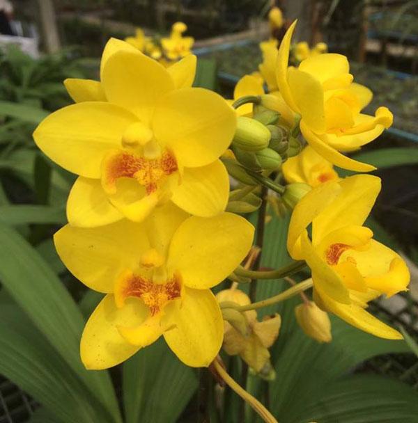 hoa lan chu đình vàng 2