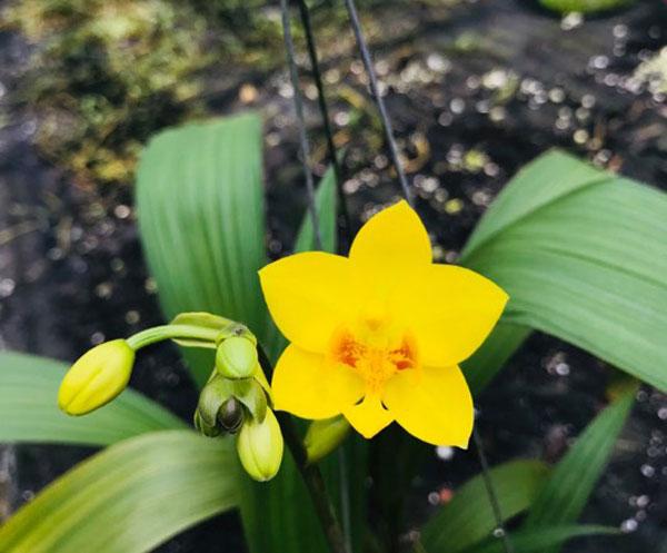 chu đình vàng cây đang hoa 2