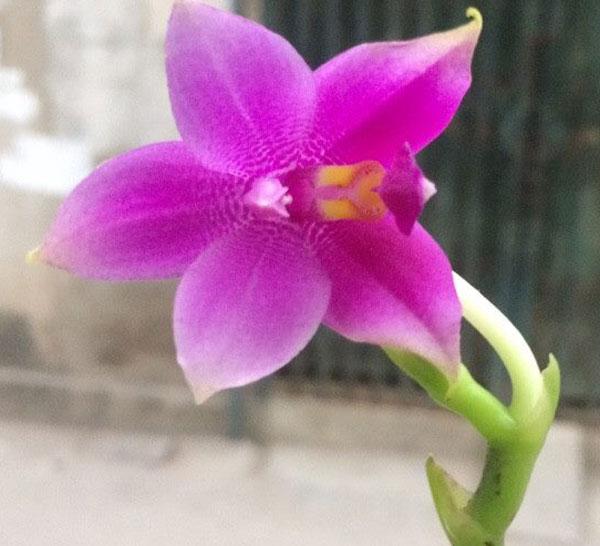 mặt hoa hồ điệp thơm
