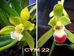 Kiếm lai CYM 22