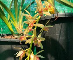 Kiếm Semi Aloifolium