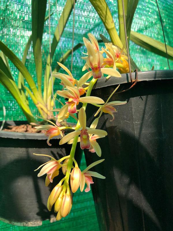 kiếm Semi-Aloifolium 2