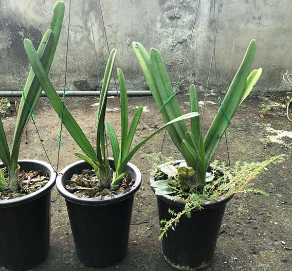 kiếm Semi-Aloifolium 1