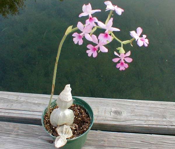 hoa lan bầu rượu 1
