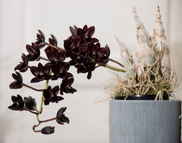 hoa lan thiên nga đen