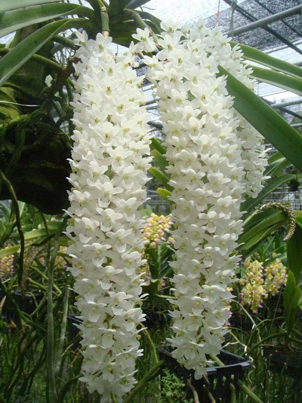 hoa lan sóc trắng
