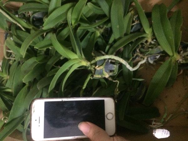 đai châu giống cây đẹp giá 30k