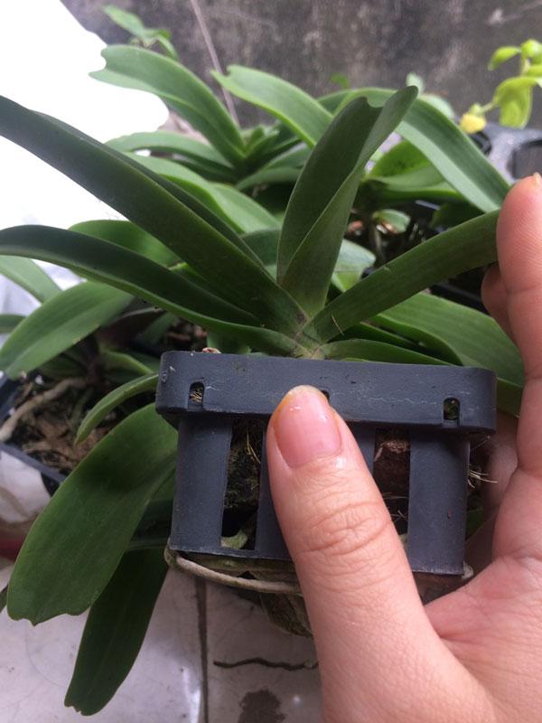 hoa lan đai châu cây nhỏ 3