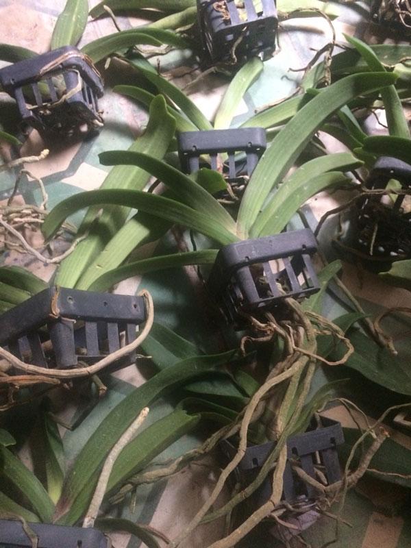 đai châu thái đang trồng chậu nhựa đen, dễ dàng ghép gỗ