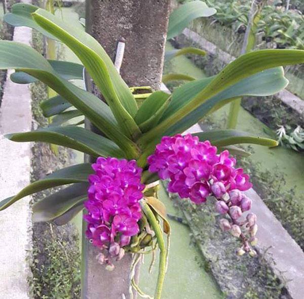 hình hoa đai châu hồng xác phảo