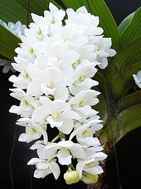 đai châu trắng hoa đẹp