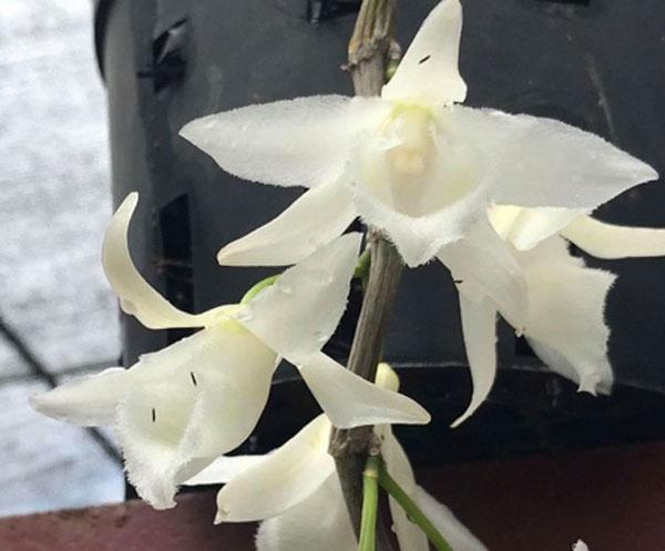 hình hoa phi điệp trắng thái khi bông đang căng