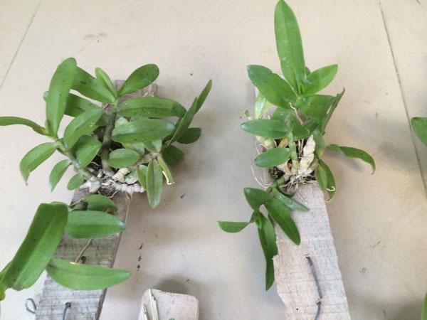 trầm rừng myanma 1