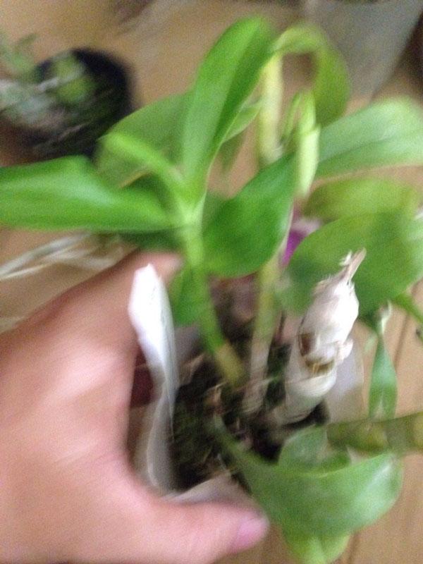 trầm gieo hạt