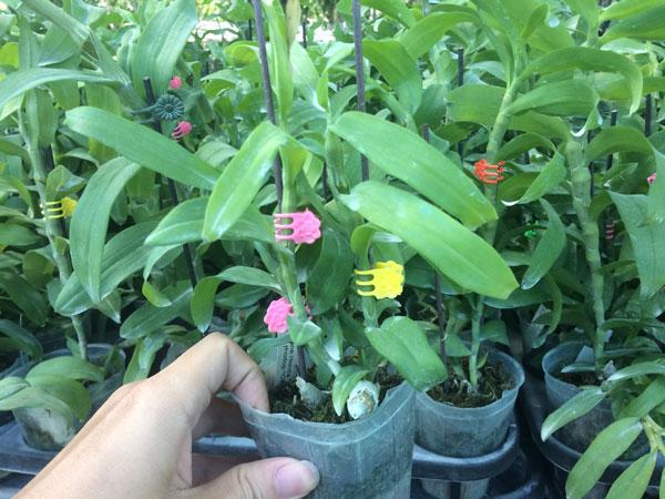 cây hoa xổ nhưng tỷ lệ hoa chuẩn chắc chắn rất cao