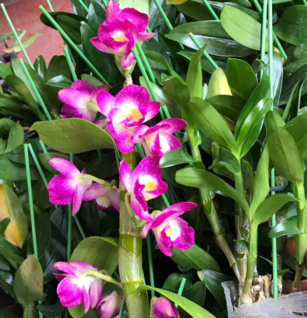 hoa lan den xuân hoa tím