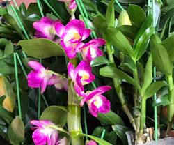 Den xuân hoa tím