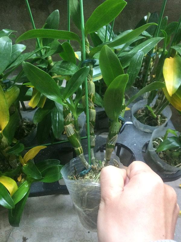 hình cây thực tế den xuân hoa tím 1