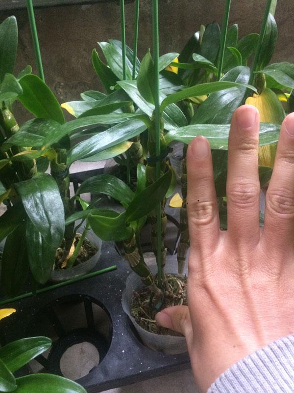 hình cây thực tế den xuân hoa tím 2