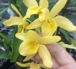 Denro xuân hoa vàng