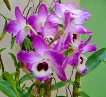Hoàng thảo xuân hoa tím