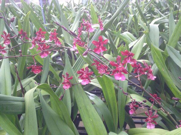 hình hoa lan vũ nữ đỏ