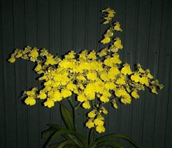Vũ nữ hoa vàng tuyền